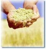 trigo-manos